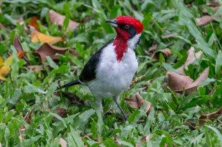 Masked Cardinal - Paroaria nigrogenis