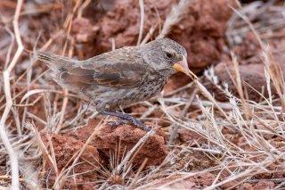 Medium Ground Finch (f) - Geospiza fortis