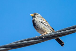 Mourning Sierra-Finch - Phrygilus fruticeti