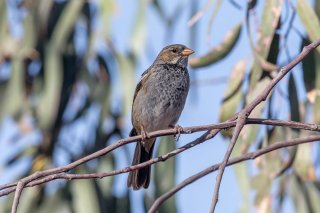 Mourning Sierra Finch (f) - Phrygilus fruticeti