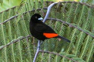 Passarini's Tanager - Ramphocelus passerinii