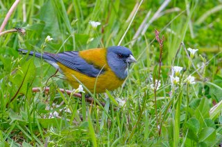 Patagonian Sierra-Finch - Phrygilus patagonicus