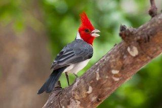 Red-crested Cardinal - Paroaria coronata