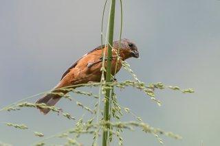 Ruddy-breasted Seedeater - Sporophila minuta