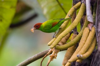 Rufous-winged Tanager - Tangara lavinia
