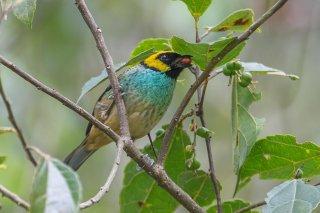 Saffran-crowned Tanager - Tangara xanthocephala