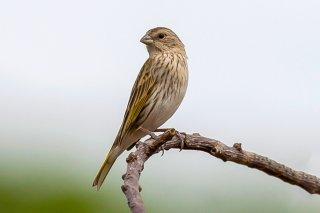 Saffron Finch (f) - Sicalis flaveola