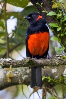 Scarlet-bellied Mountain Tanager - Anisognathus igniventris