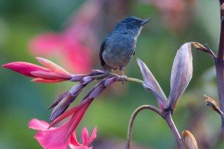 Slaty Flowerpiercer - Diglossa plumbea
