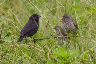 Small Ground Finch - Geospiza fuliginosa