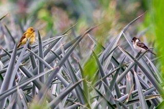 Wing-barred Seedeater - Sporophila americana