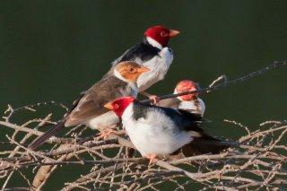 Yellow-billed Cardinal - Paroaria capitata