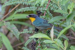Yellow-throated Tanager - Iridosornis analis