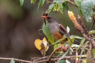 Abyssinian Thrush - Turdus abyssinicus