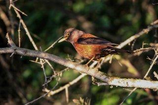 Chestnut Thrush - Turdus rubrocanus