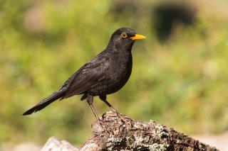 Common Blackbird - Turdus merula