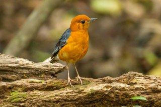 Orange-headed Thrush - Geokichla citrina