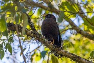Sooty Thrush - Turdus nigrescens