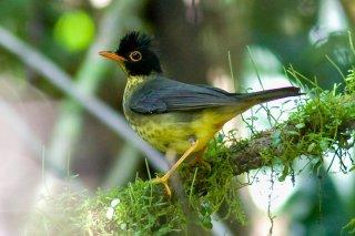 Spotted Nightingale-Thrush - Catharus maculatus