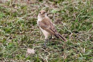 Ground Tit - Pseudopodoces humilis