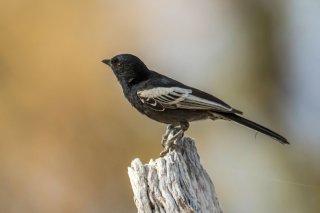 Southern Black Tit - Melaniparus niger