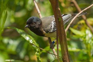 Stripe-breasted Tit - Melaniparus fasciiventer
