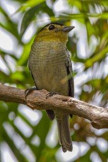Barred Becard - Pachyramphus versicolor