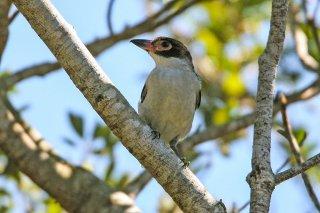 Black-tailed Tityra - Tityra cayana