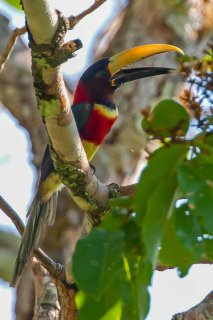 Red-necked_Aracari.jpg