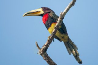Ivory-billed_Aracari.jpg