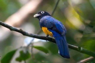 Amazonian_Violaceous_Trogon.jpg