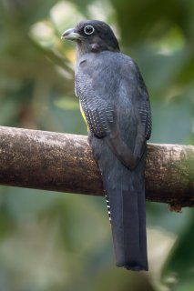 Green-backed_Trogon.jpg
