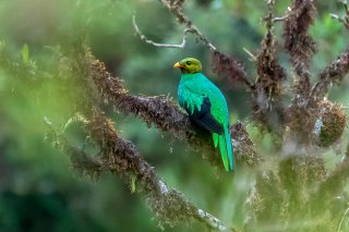 Golden-headed_Quetzal.jpg