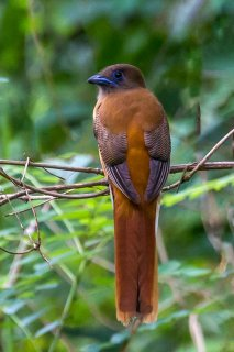 Malabar_Trogon_female.jpg