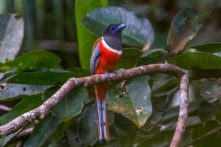 Malabar_Trogon_male.jpg