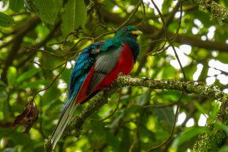 Narina_Trogon_male.jpg