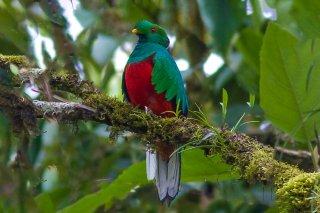 Crested_Quetzal.jpg