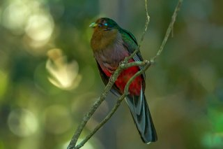 Narina_Trogon_female.jpg