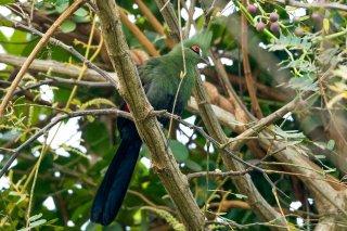 Green (Guinea) Turaco