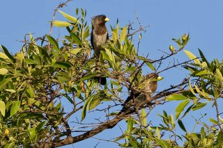 Western Plantain-eater