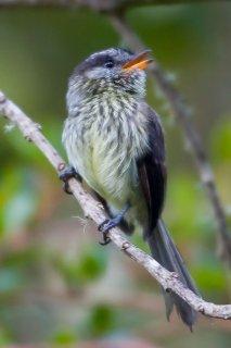 Agile Tit-Tyrant - Uromyias agilis