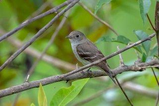 Alder Flycatcher - Empidonax alnorum