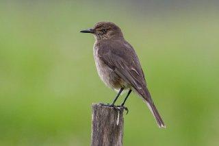 Black-billed Shrike-Tyrant - Agriornis montanus