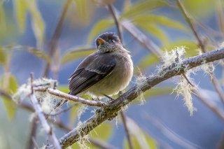 Black-capped Flycatcher - Empidonax atriceps