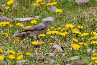 Black-fronted Ground-Tyrant - Muscisaxicola frontalis