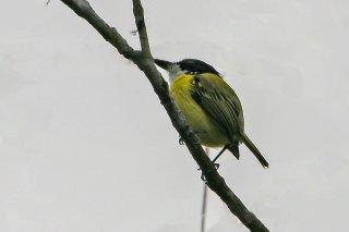 Black-headed Tody-Flycatcher - Todirostrum nigriceps
