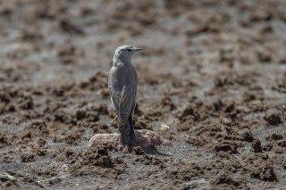 Cinereous Ground-Tyrant - Muscisaxicola cinereus