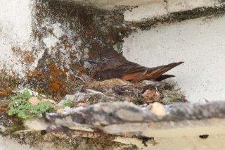 Cliff Flycatcher - Hirundinea ferruginea