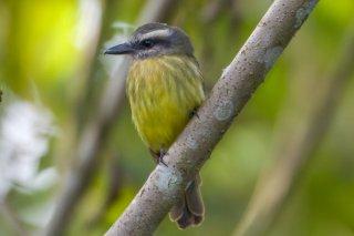 Golden-crowned Flycatcher - Myiodynastes chrysocephalus