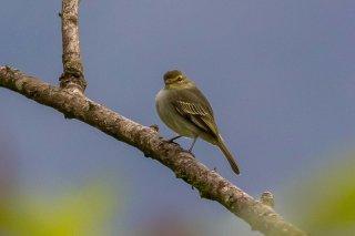 Golden-faced Tyrannulet - Zimmerius chrysops